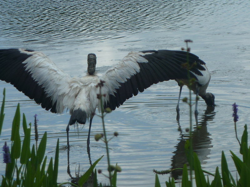 STORK BIG WINGS