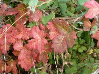 Poison oak