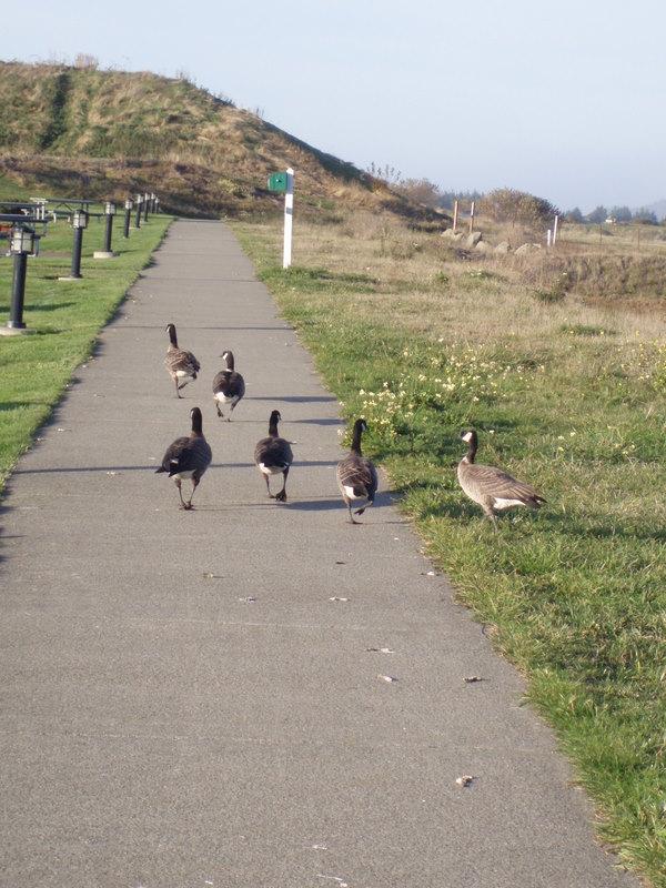Geese walking WB 61-1