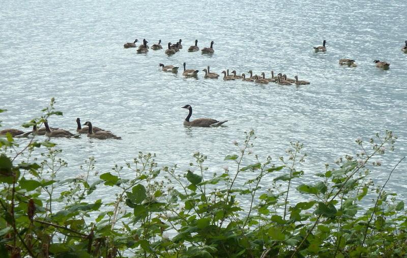 233 goose families 1st am.-2