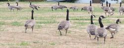 Geese convention