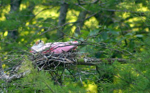 Nesting spoonbill 0929