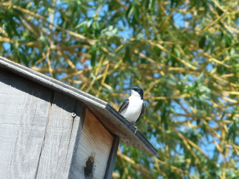 218 swallow on top of house