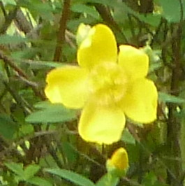 Buttercup bush 1 close