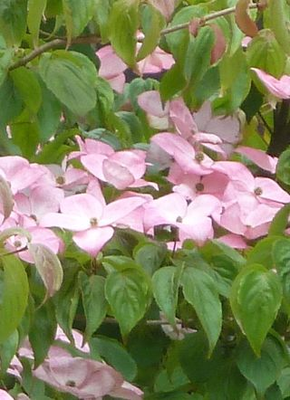 Pink dogwood close