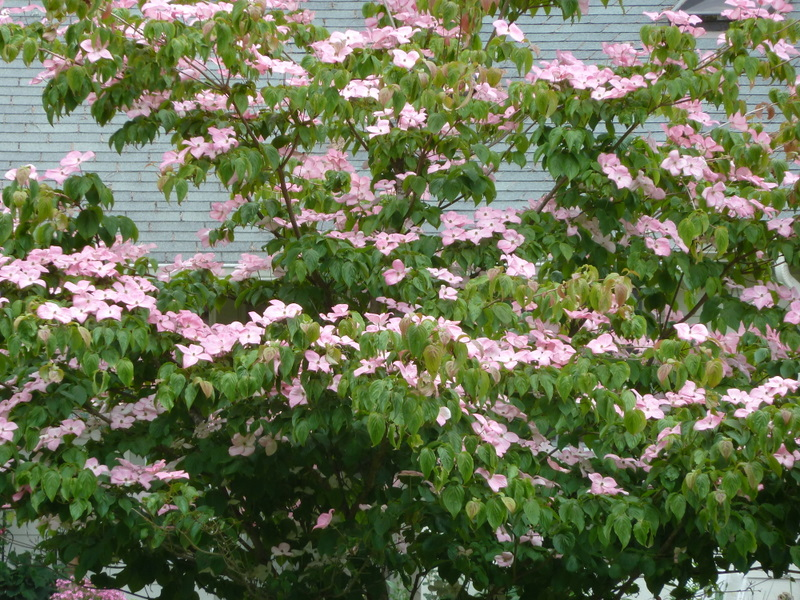 Pink dogwood bush