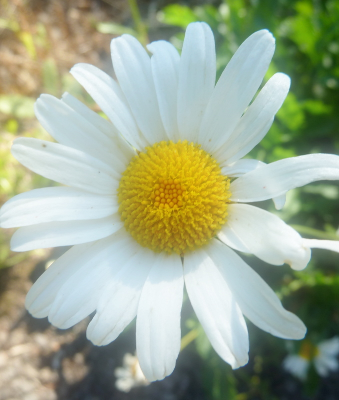 Daisy petal close