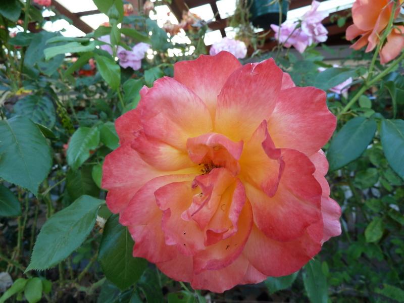 Coral rose close
