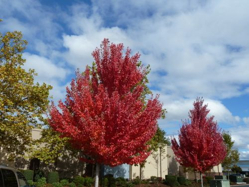 Red trees one
