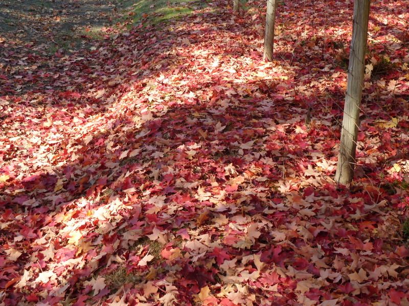 Red tree leaves ground