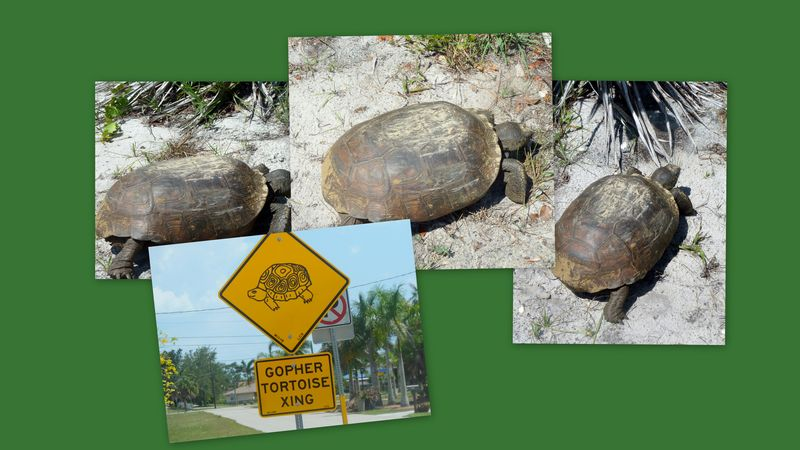 Gopher tortoise sign lizard1