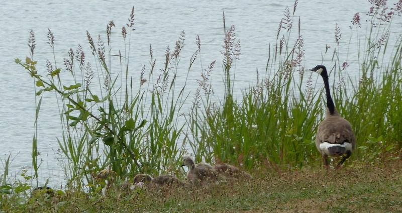 231 goose first morning-1
