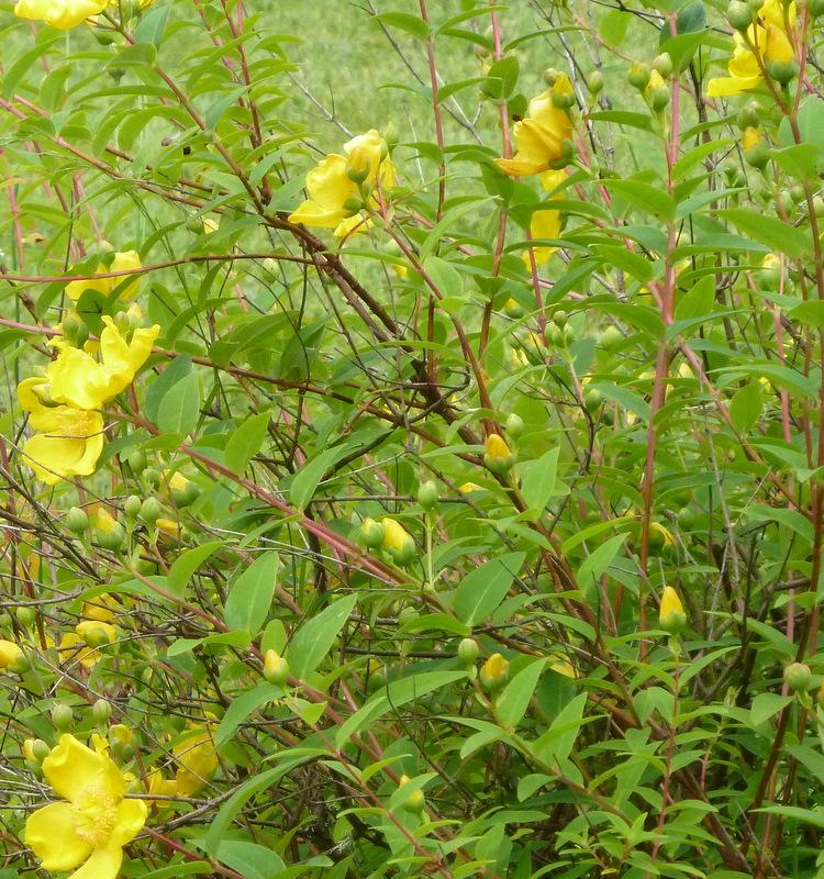 Buttercup bush u