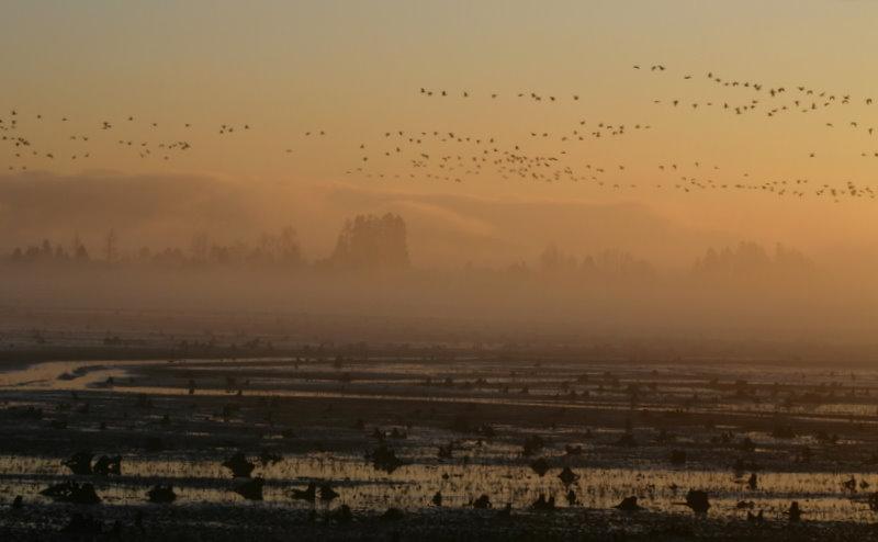 Geese feb