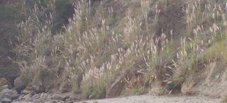 Pampas grass 32