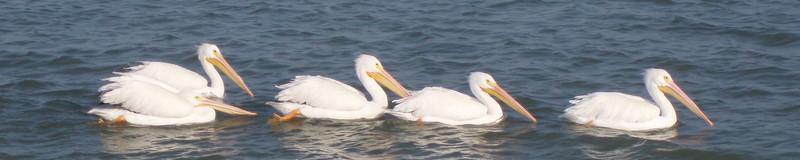 Pelican family 100_0078-1