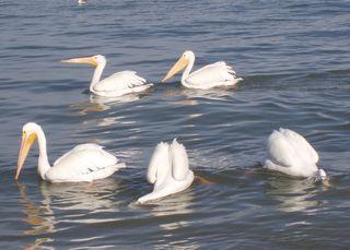 Pelicans eating 100_0091