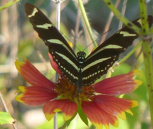 Butterfly b a w 2-1