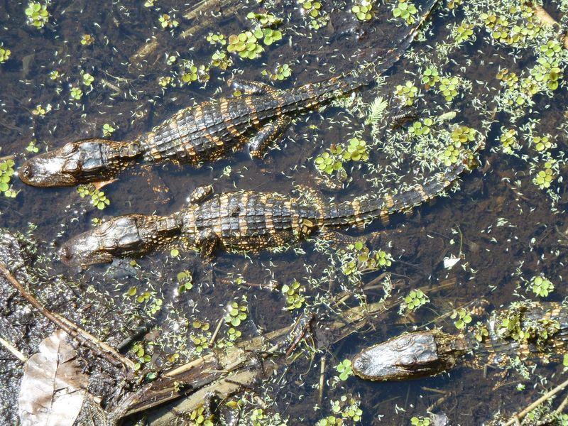 Alligators baby 3