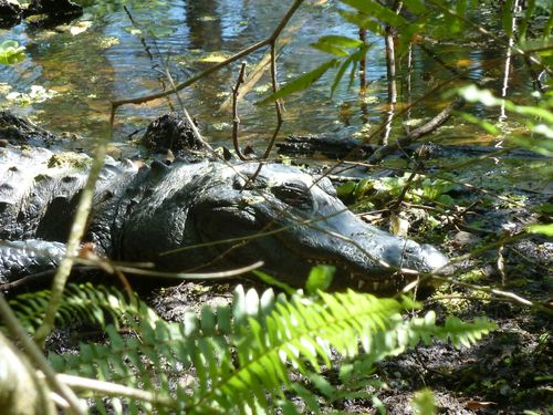 Alligator big 2