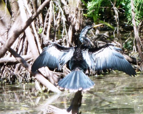 Anhinga drying wings better