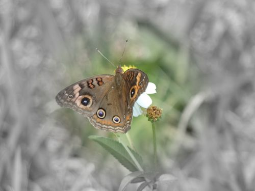 Br butterfly2
