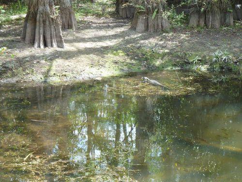 Alligator heading for shore
