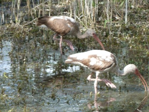 immature ibis 2 big cypress