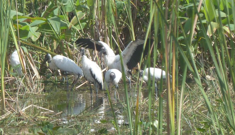 storks - big cypress wetlands