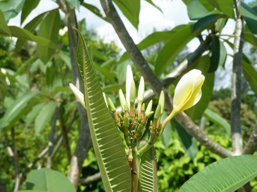frangipanni leaf