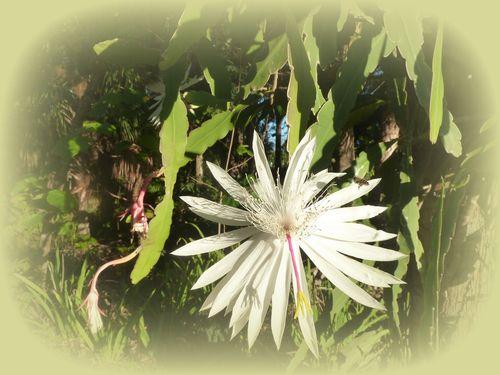 Night blooming cactus vignette