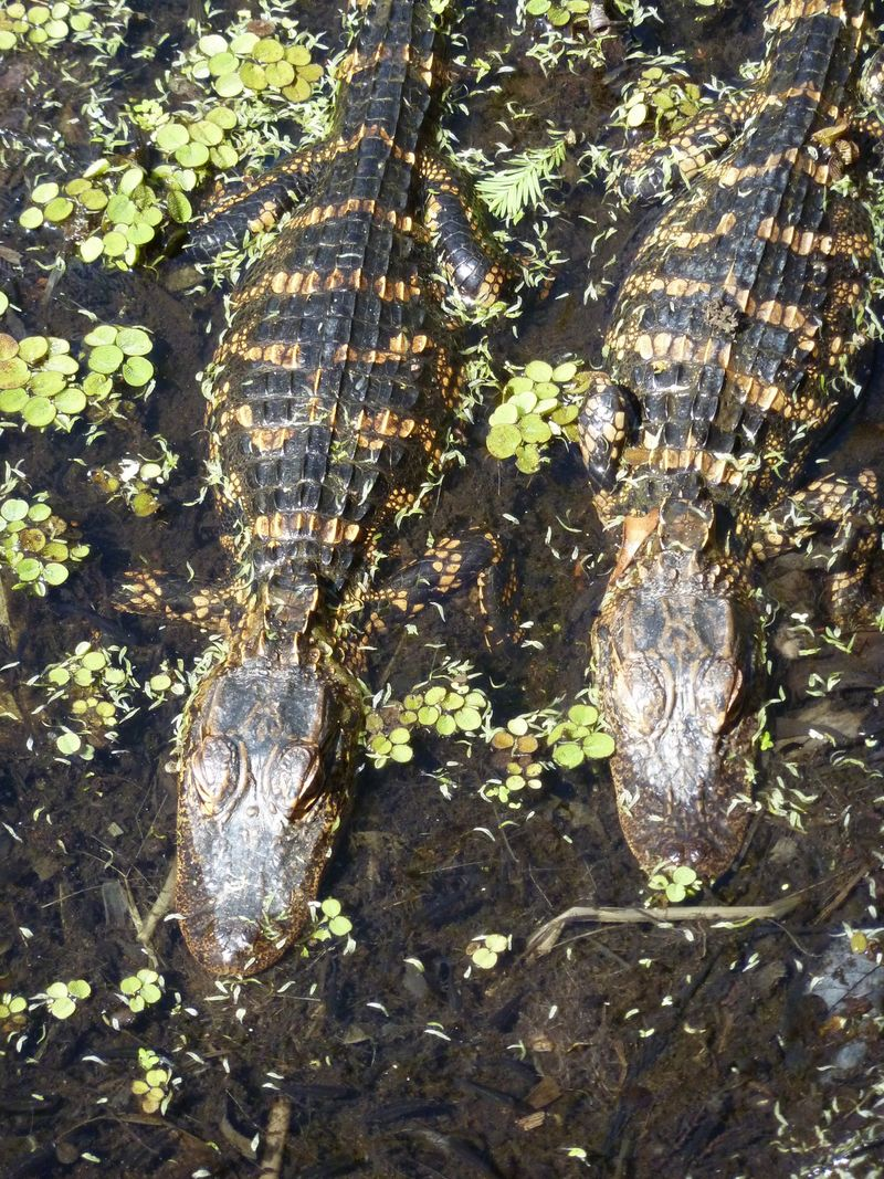 Alligators baby 2