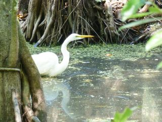 Great egret w refl