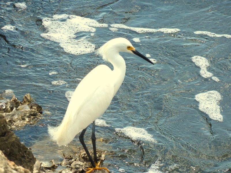Snowy egret 3-001