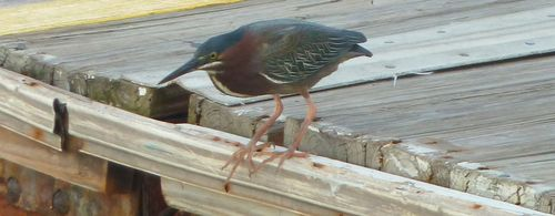 Green heron 2 -check