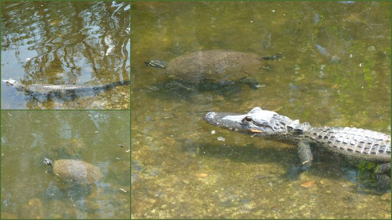 Alligator and turtle race