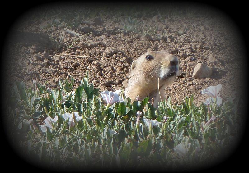 Prairie dog3-001