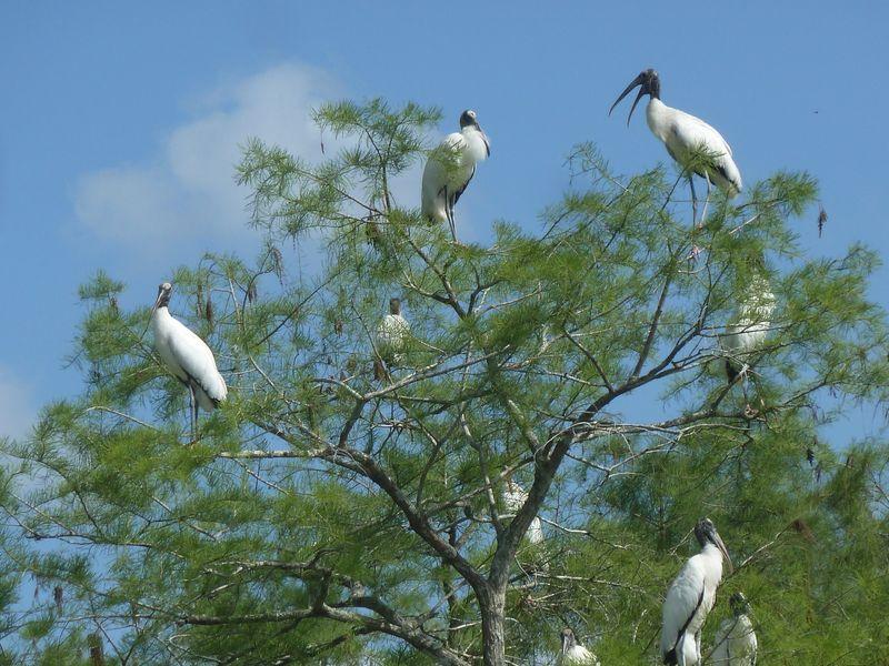 storks in tree
