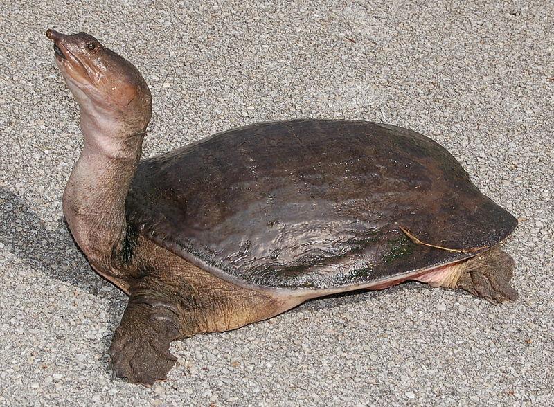 Florida softshell turtle wiki