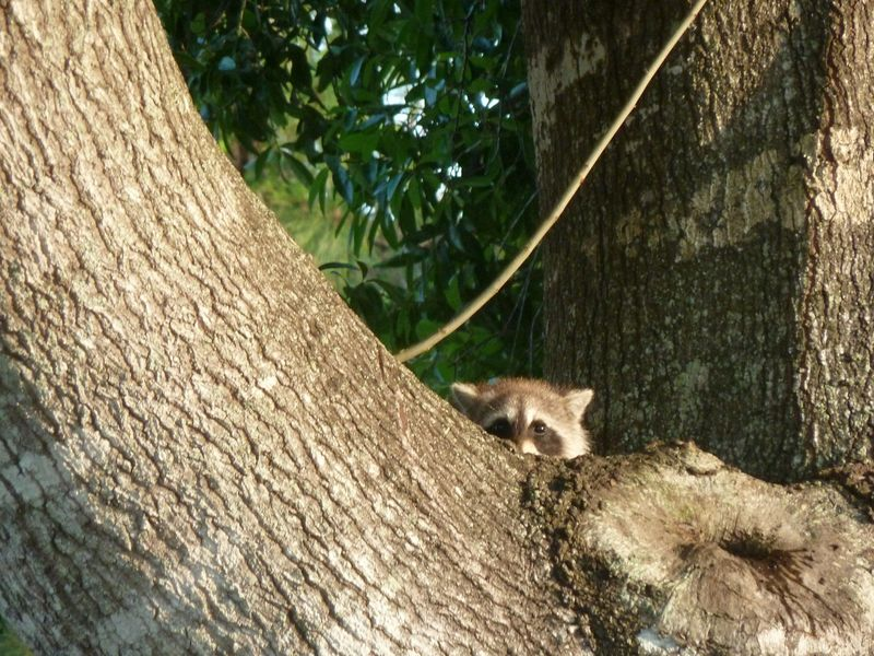 RINGTAIL 1