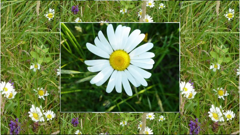 Daisies collage