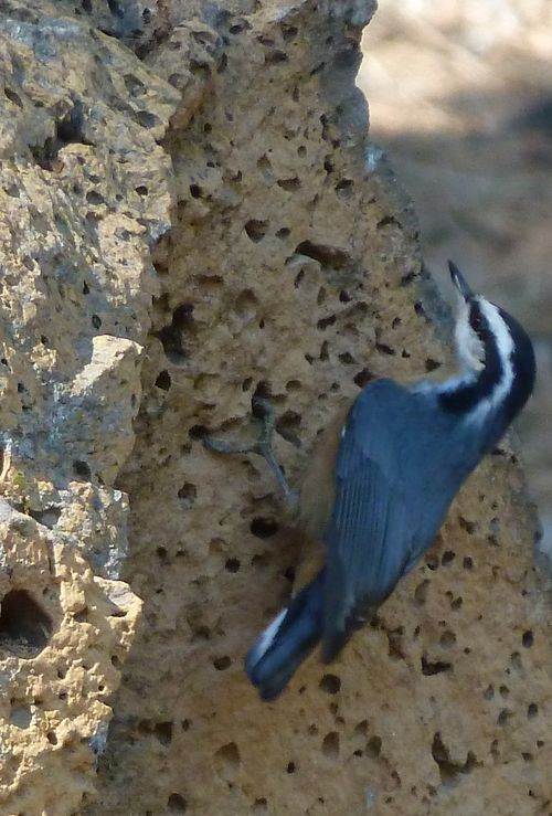 red-breasted nuthatch, near Bend