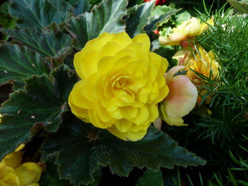 yellow begonia
