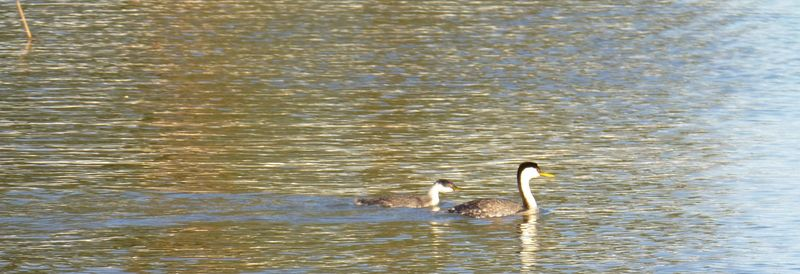 Grebe and baby