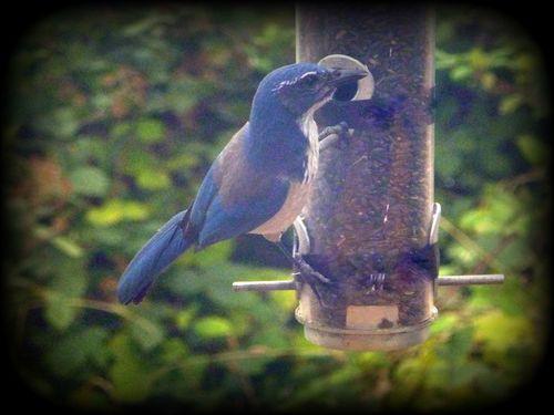 Scrub jay on feeder