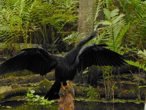 cormorant spreading wings
