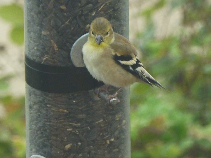 lesser goldfinch on feeder
