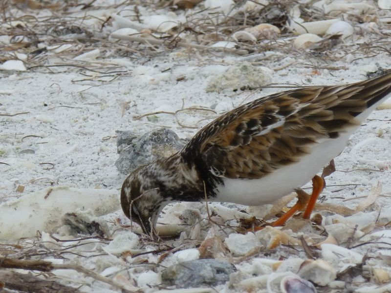ruddy turnstone with shells