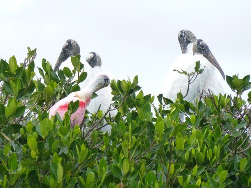 Roseate spoonbill and storks