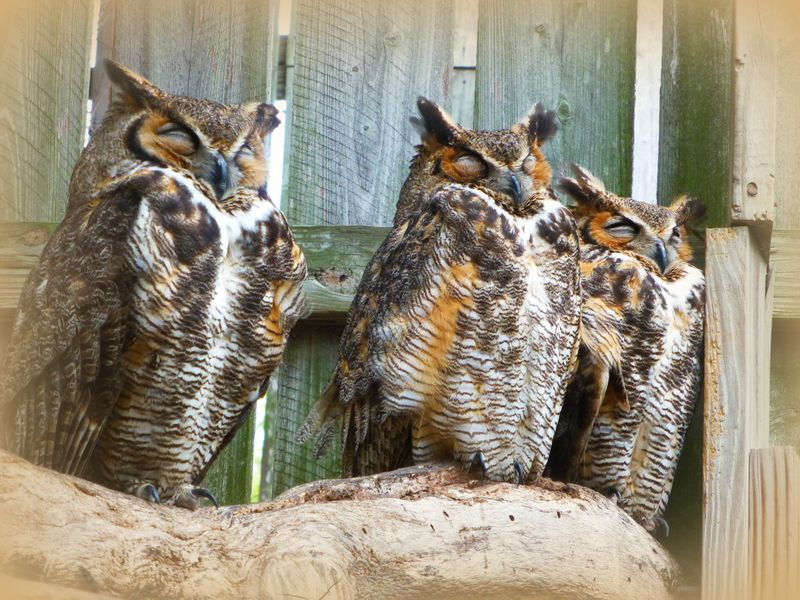 great horned owls, Save Our Seabirds